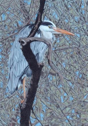 Airone Cenerino, Matite Colorate, 21x29,7cm